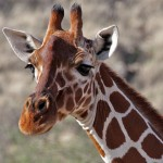 IMG_0600_Giraff_samburu