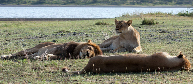 http://www.mittafrika.net/wp-content/uploads/2012/02/IMG_2384_Lions_Ndutu2.jpg