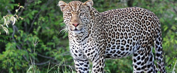 leopard_male_586