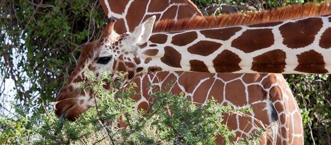 http://www.mittafrika.net/wp-content/uploads/2013/05/IMG_4333_giraff_646-e1429710221879.jpg