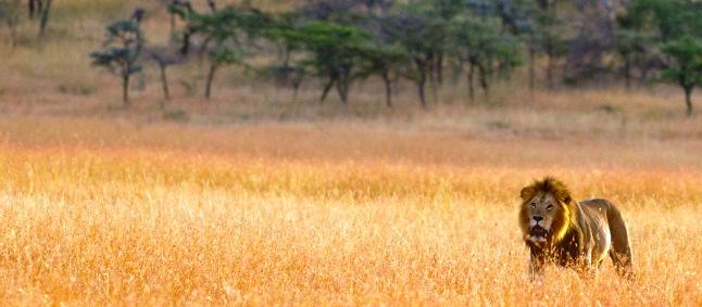 http://www.mittafrika.net/wp-content/uploads/2014/04/web-porini-mara-lejon-hane-i-gräset-IMG_1073_646.jpg